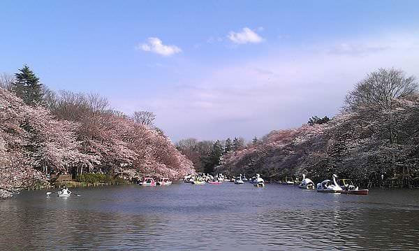 日本。東京 | 吉祥寺:春遊井之頭公園漫步賞櫻花