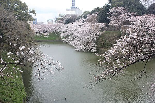 日本。東京 | 千鳥之淵:櫻花綠地賞櫻半日遊